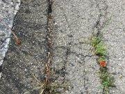 Stubborn wee poppy