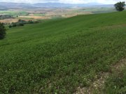 A big paddock of lucerne, my father's favourite fodder crop