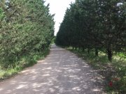 Pines make quite nice avenues